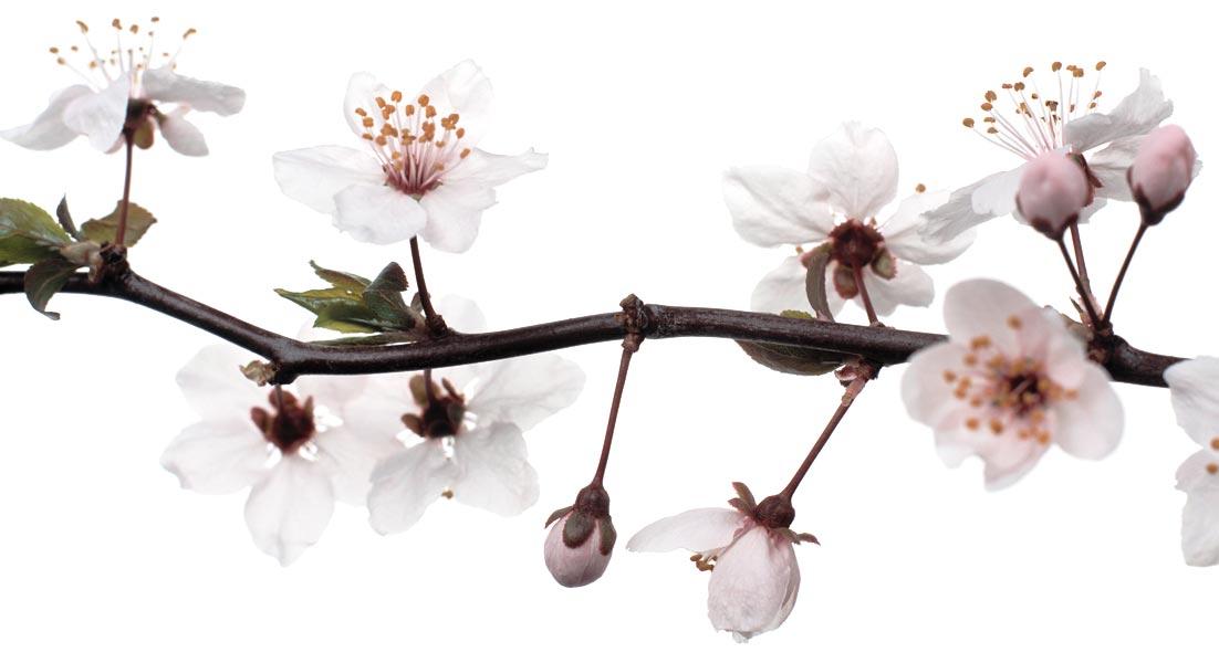 Cerisier - Cerisier en fleur dessin ...